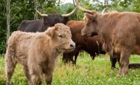 Highlander Cattle Co.