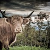 Highlander Cattle Co.